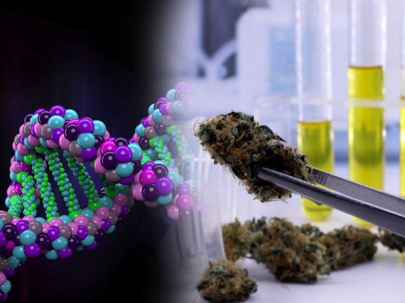 Mapowanie DNA genomu konopi
