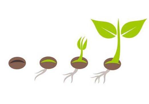 Jak kiełkować nasiona marihuany na wacikach, w ziemi i w wodzie - poradnik dla początkujących