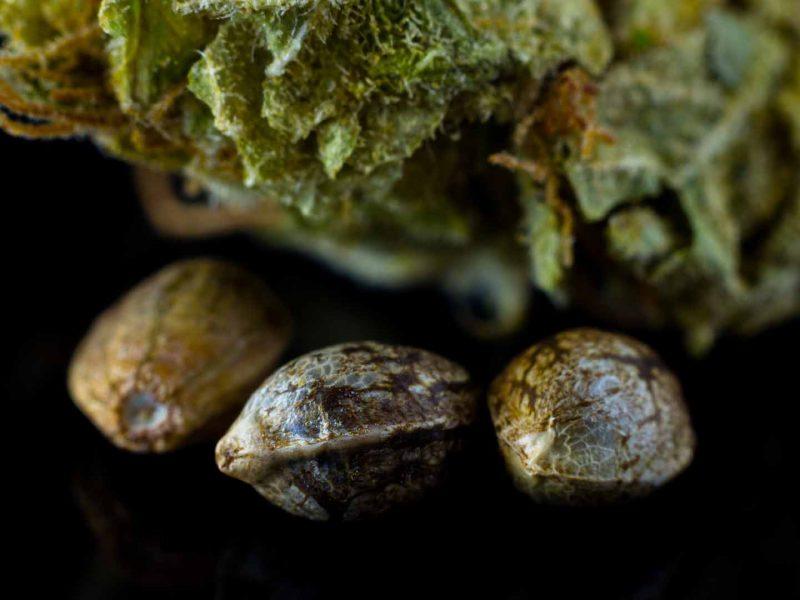 Kiełkowanie nasion marihuany jest proste - wystarczy zastosować się do naszego poradnika