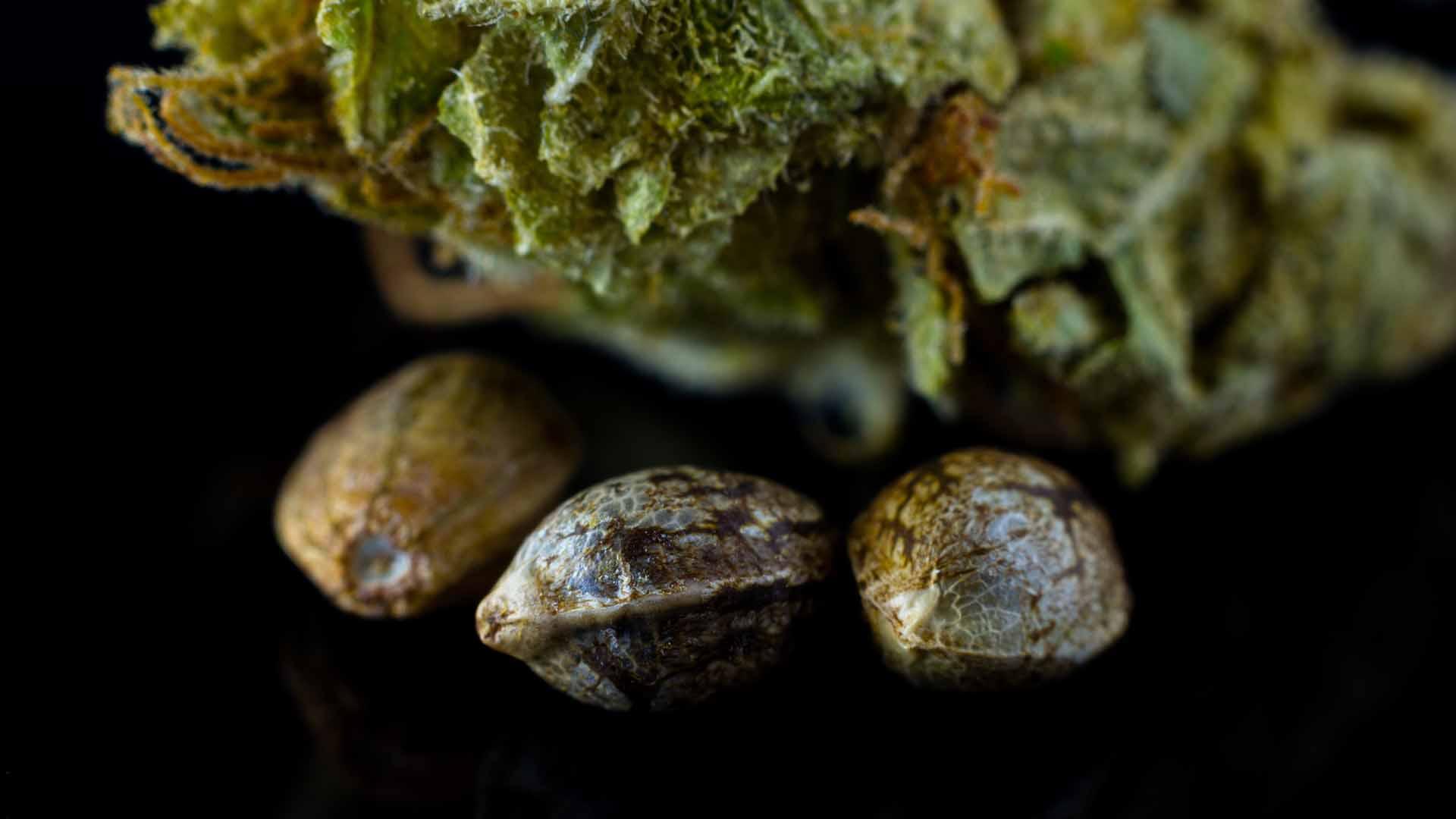 Kiełkowanie Nasion Marihuany Ziemia Waciki Woda I Automaty