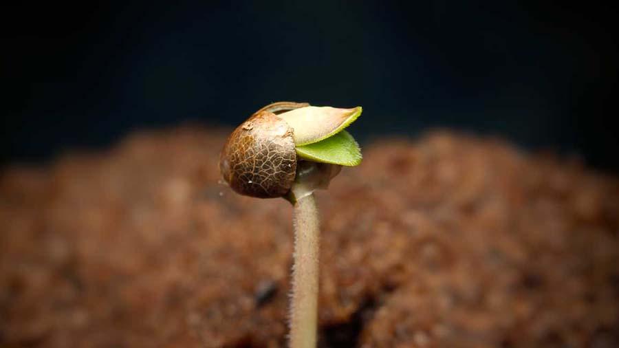 Kiełkujące nasiono marihuany w ziemi