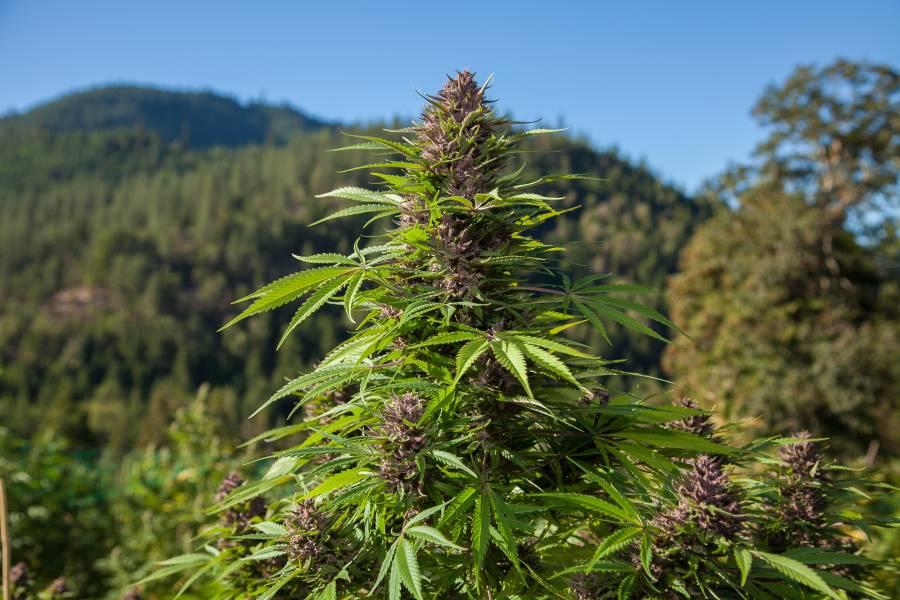 Uprawa marihuany na zewnątrz - outdoor
