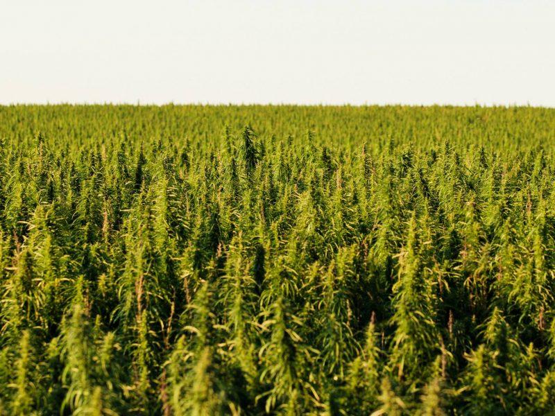 Uprawa marihuany outdoor - poradnik dla początkujących