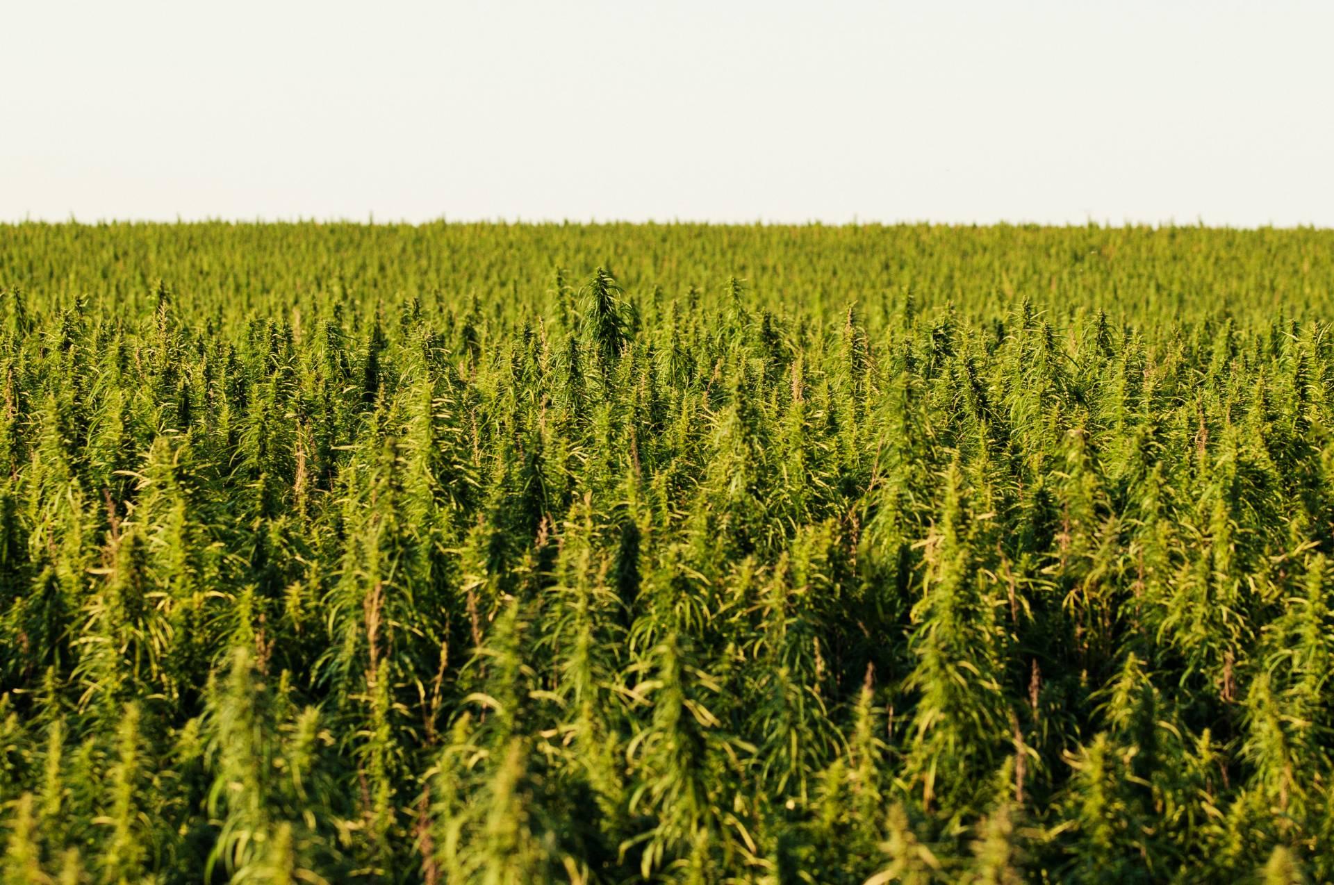Uprawa Marihuany Outdoor Poradnik Dla Początkujących