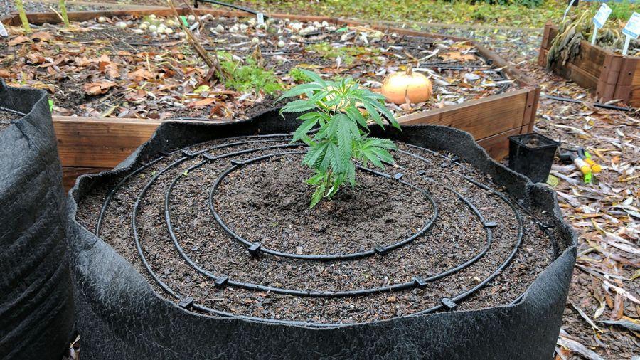 Linia kroplująca w uprawie marihuany