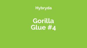 Gorilla Glue #4 - odmiana marihuany hybrydowa