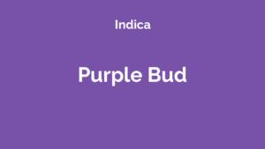 Purple Bud - odmiana marihuany indica