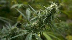 Marihuana – co to jest? Wszystko o marihuanie