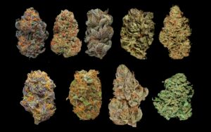 Wszystkie odmiany marihuany – ile ich jest?